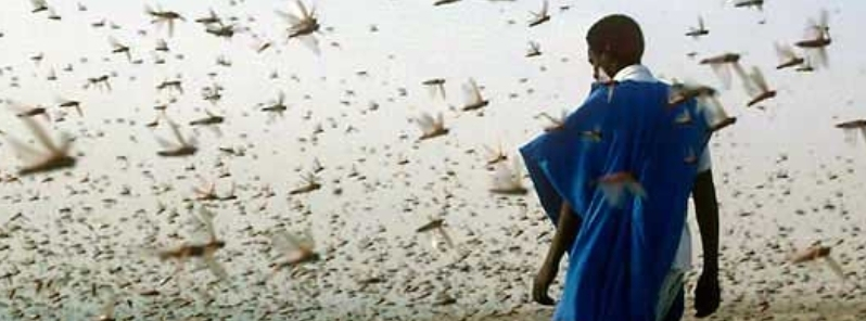 Biblical locust Swarm Attacks Saudi Arabia and Horn of Africa